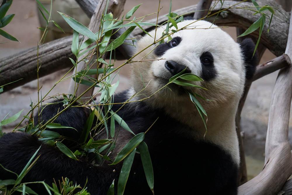 panda-1123765